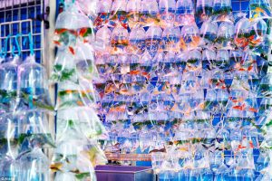 Những chợ cá cảnh Hà Nội nổi tiếng